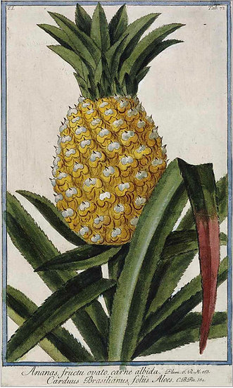 ANTIQUE PRINT OF A PINEAPPLE - ANTIQUE FRUIT PRINT