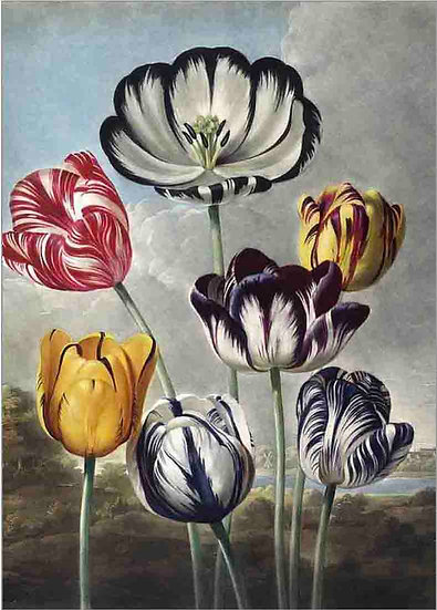TULIPS AFTER PHILIP REINAGLE