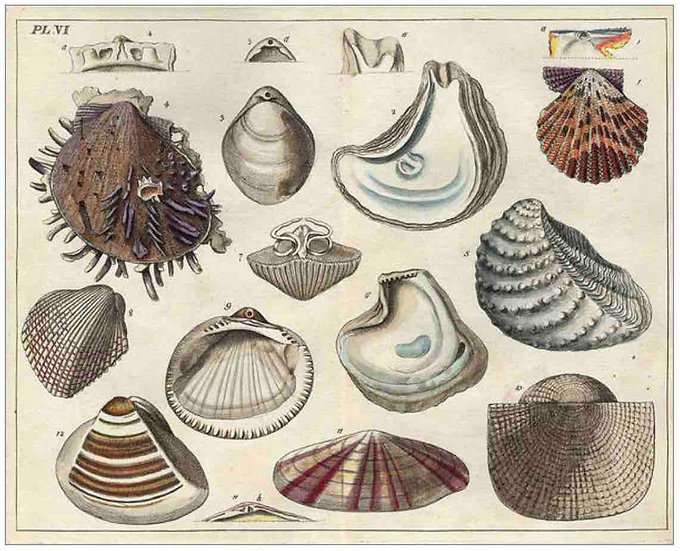 Antique Shell chart 4