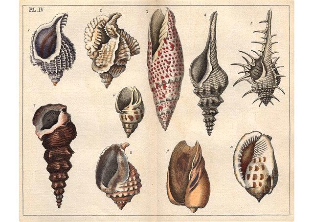 Antique shell chart 3