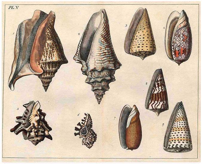 Antique Shell chart 1