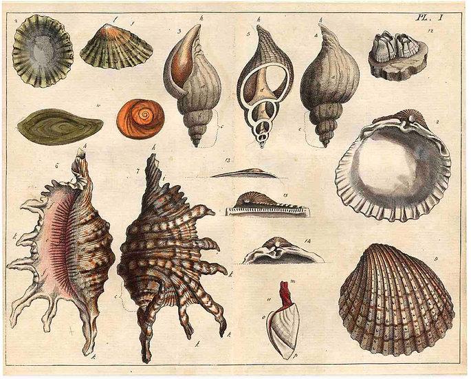Antique Shell chart 2