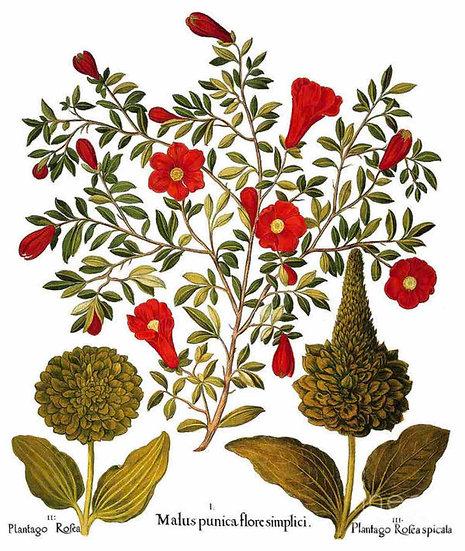 Pomegranate, 1613
