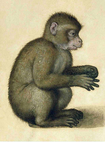 Portrait of a monkey - Albrecht Dürer