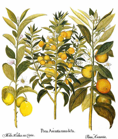 Citron And Orange, 1613