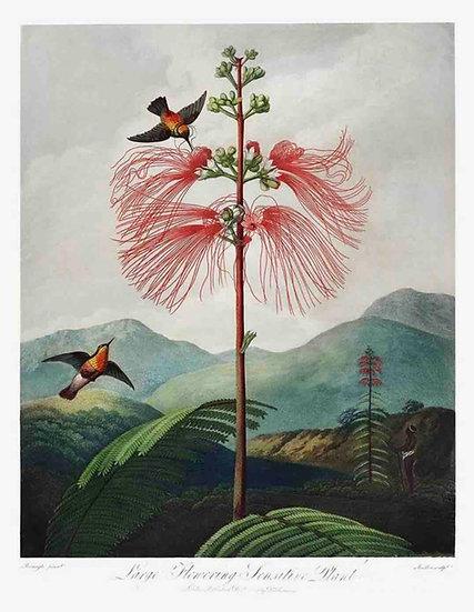 LARGE-FLOWERING SENSITIVE PLANT