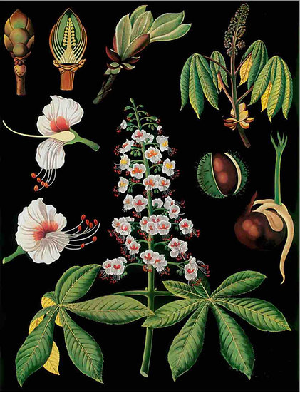 VINTAGE BOTANICAL ART - ANTIQUE FRUIT PRINT