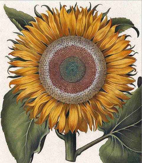 Antique Sunflower Print