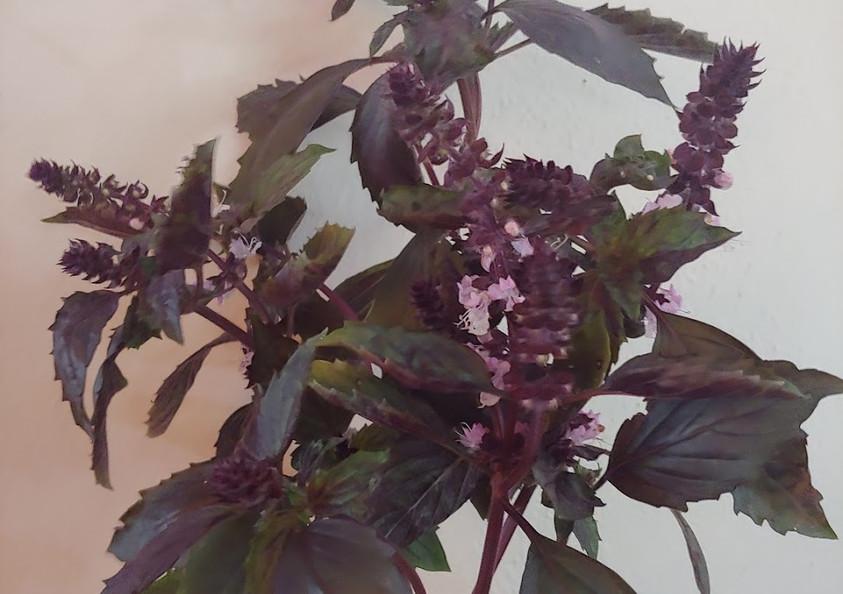Basil Foliage.jpg