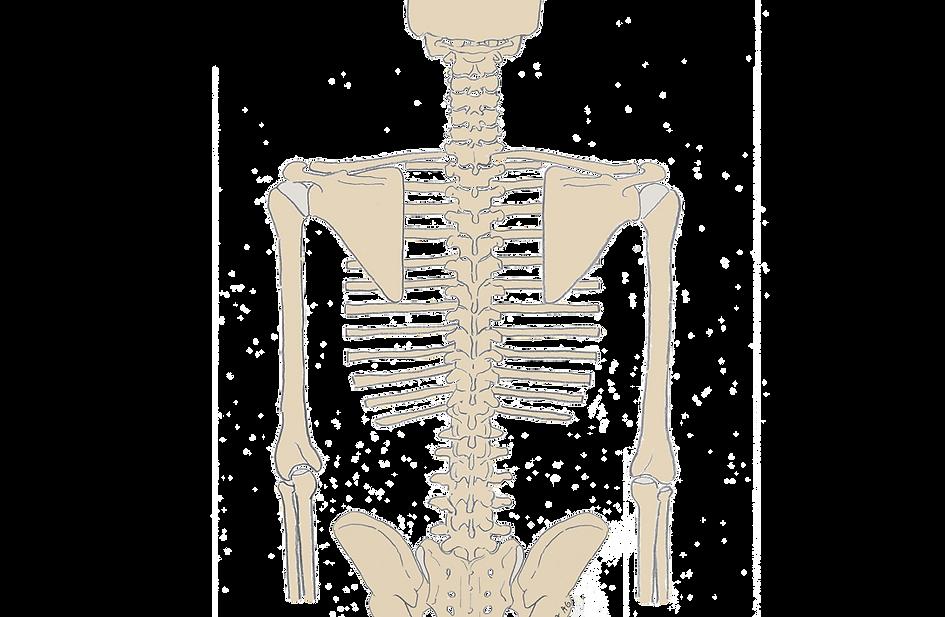 Vivatomie vs. Anatomie | CANTIENICA – Methode für Körperform & Haltung