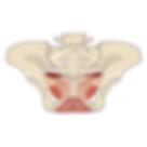 Beckenboden Muskulatur.png