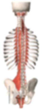 Autochthone Rückenmuskulatur, Multifidi