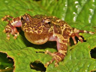 Los anfibios de Chile, únicos en el mundo