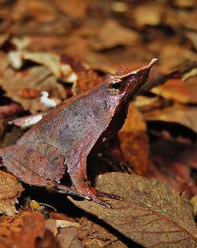 Darwin's frog 1 AVS.jpg