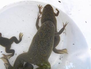 |OPINIÓN| De mi amor por las ranas africanas y otras especies invasoras