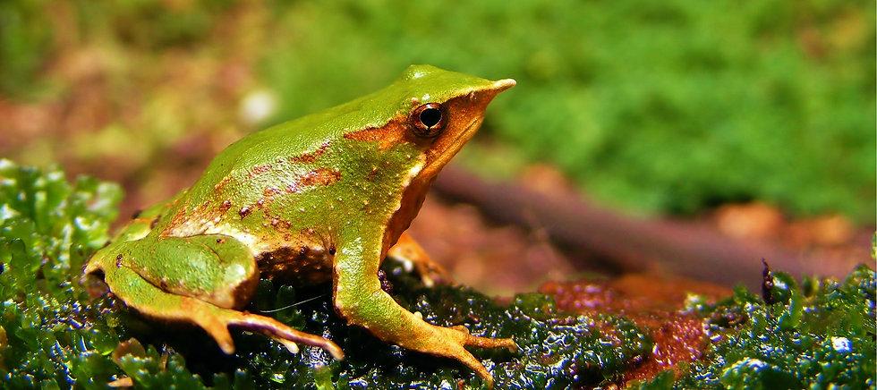 Darwin's frog alargada 2.jpg