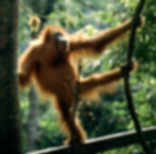 Orangutan getting ready to swing.