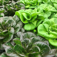 """anchorage greens"" anchoragegreens ""Indoor Farm"" Produce Lettuce"
