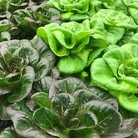 """anchorage greens"" anchoragegreens ""Indoor Farm"" Produce Lettuce"