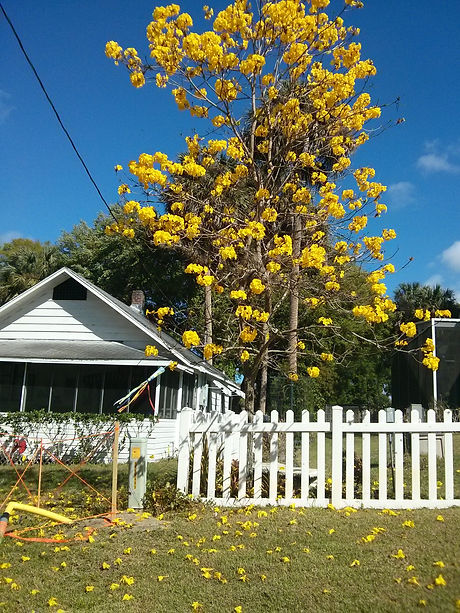 House - yellow tree flowers.jpg