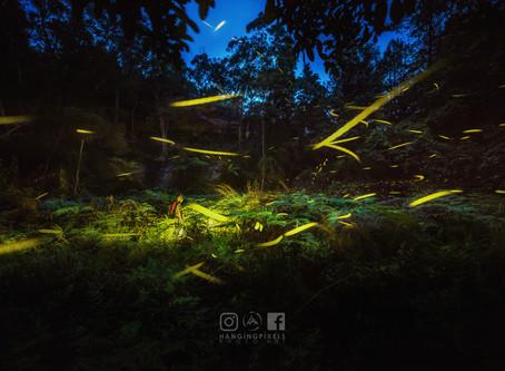Fireflies and Glowworms