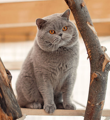Mâle british shorthair bleu