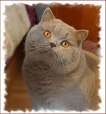 British shorthair mâle