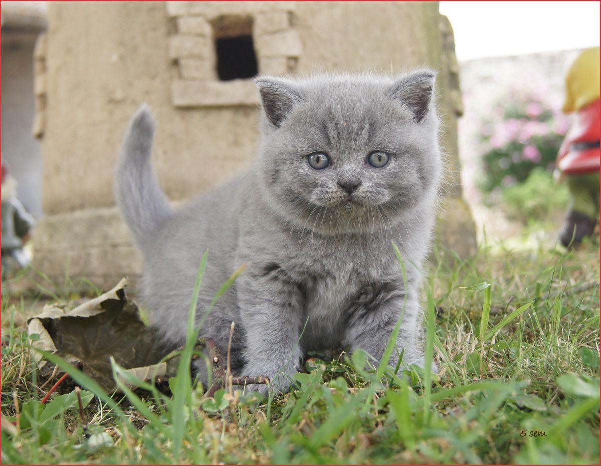mâle bleue british shorthair