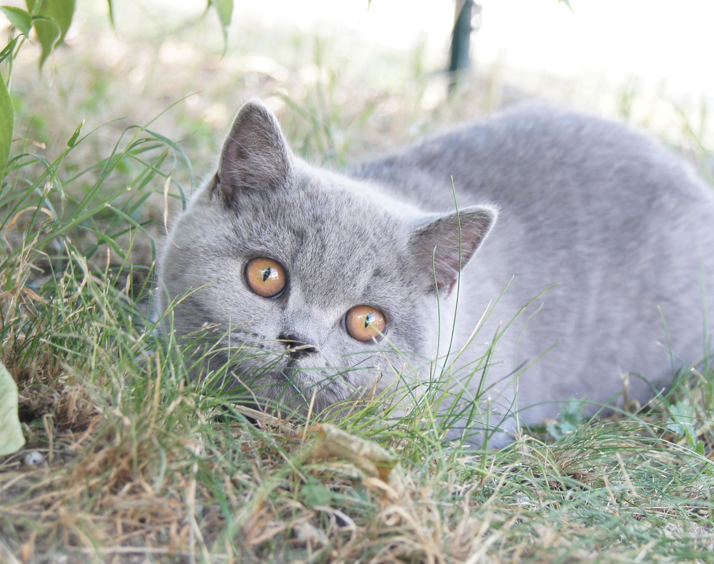 Lili-Rose femelle bleue british shor