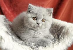 femelle bleue british shorthair