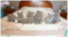 chatons british hsorthair