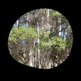 rosalina - melaleuca ericifolia - australian essences