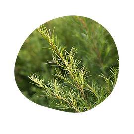 tea tree - melaleuca alternifolia - australian essences