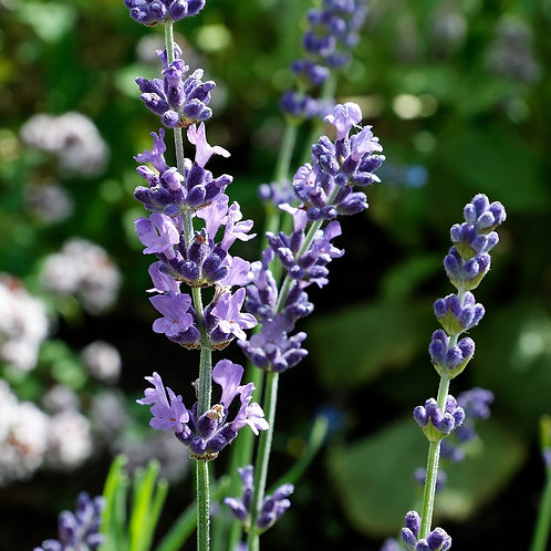 Lavender Oil (New Zealand)