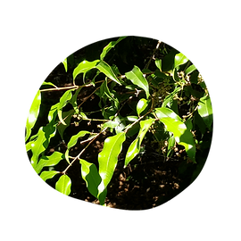 anise myrtle - syzygium anisata - australian essences