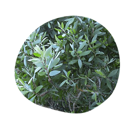 niaouli - melaleuca quinquinervia ct. cineole - australian essences