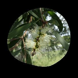 nerolina - melaleuca quinquinervia ct, nerolidol - australian essences
