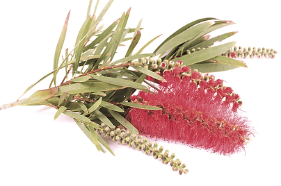 Red Banksia Flower on White Background