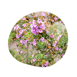 balm mint bush - prostanthera melissifolia - australian essences