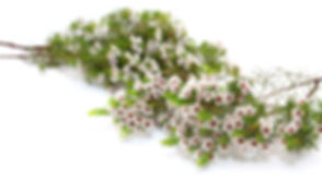 White Tea Tree Flowers on White Background