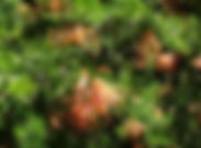 grevillea in flower.jpg