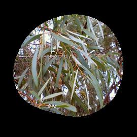 eucalyptus blue mallee - eucalyptus polybractea - australian essences