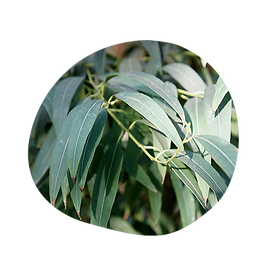 eucalyptus australiana - eucalyptus radiata - australian essences