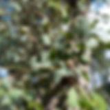 Eucalyptus_dives_(5369186821).jpg
