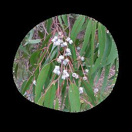 eucalyptus blue gum - eucalyptus globulus - australian essences