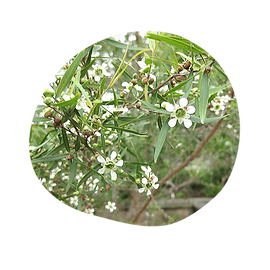 lemon scented tea tree - leptospermum petersonii - australian essences