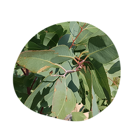 lemon ironbark - eucalyptus staigeriana - australian essences