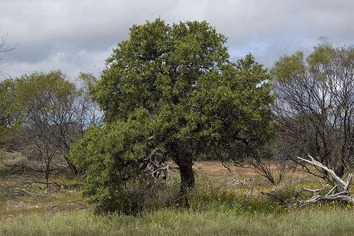 Sandalwood - Australian