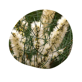 honey myrtle - melaleuca teretifolia - australian essences