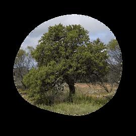 australian sandalwood - santalum spicatum - australian essences